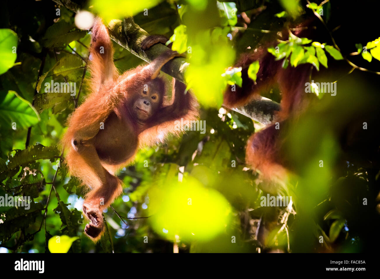 Wild juvenile bornean orangutan (Pongo pygmaeus morio) hanging on tree branch in natural habitat in Kutai National - Stock Image