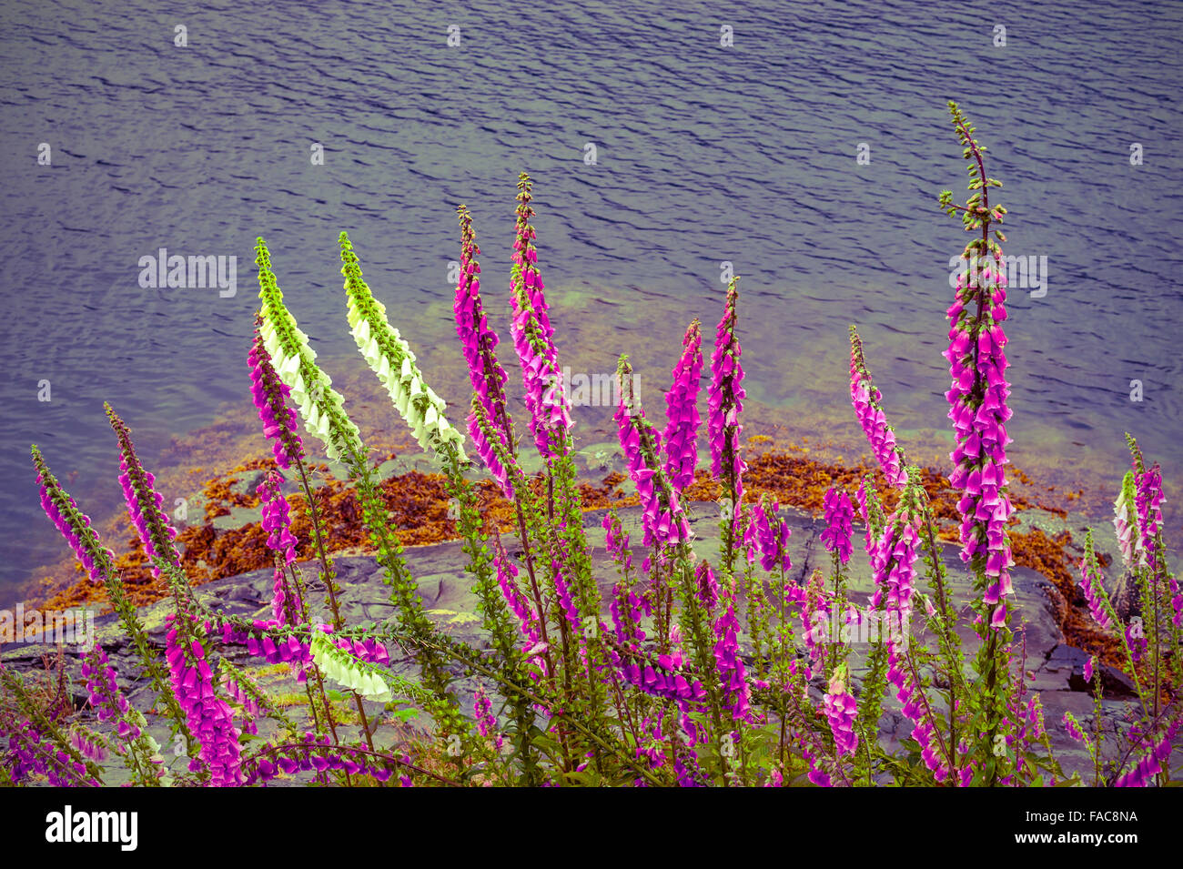 These foxgloves seem to be growing right out of the rocks beside Silver Bay near Sitka, Alaska, USA.  Photography - Stock Image