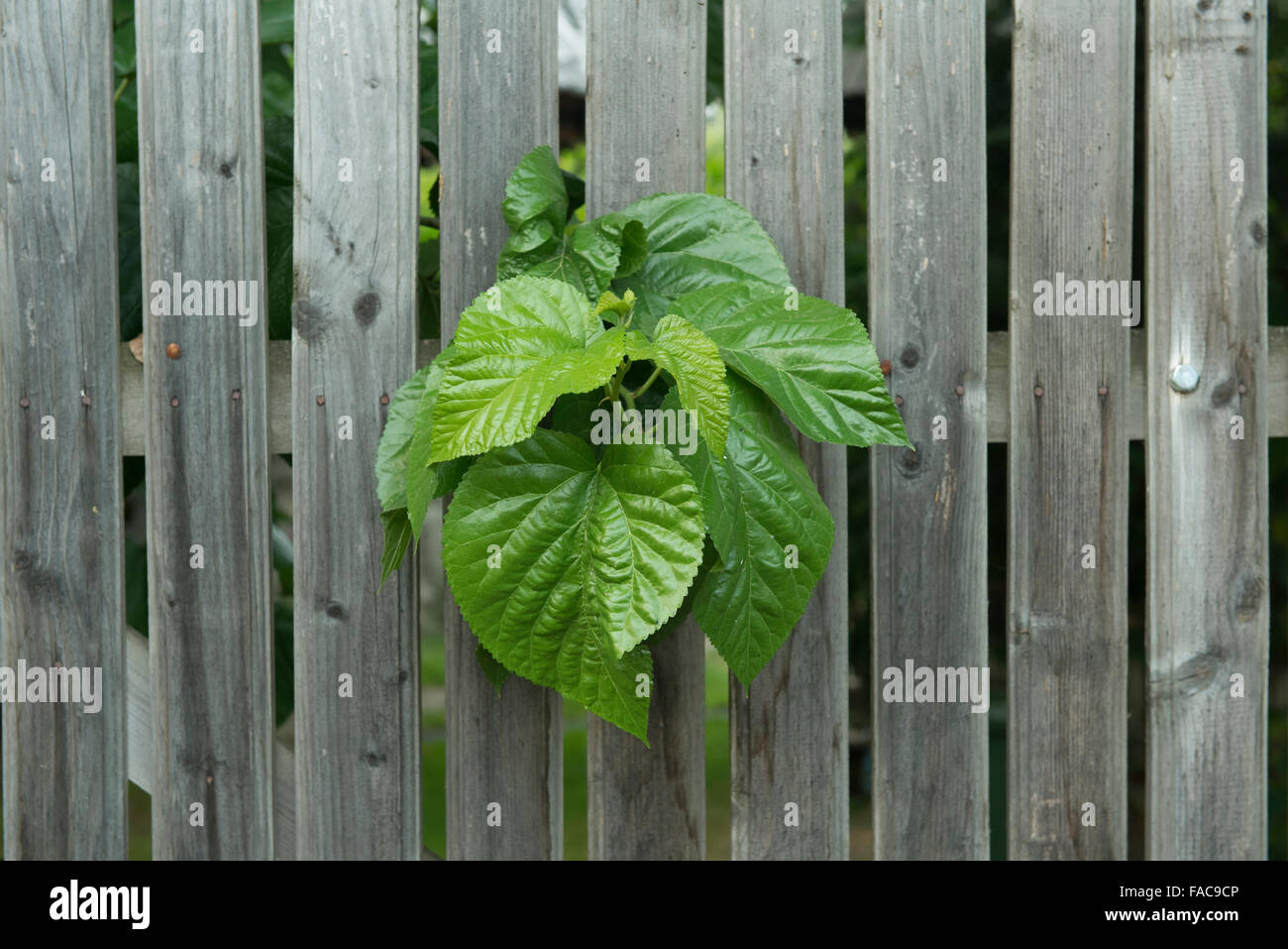 plant which passes through a palisade - Stock Image