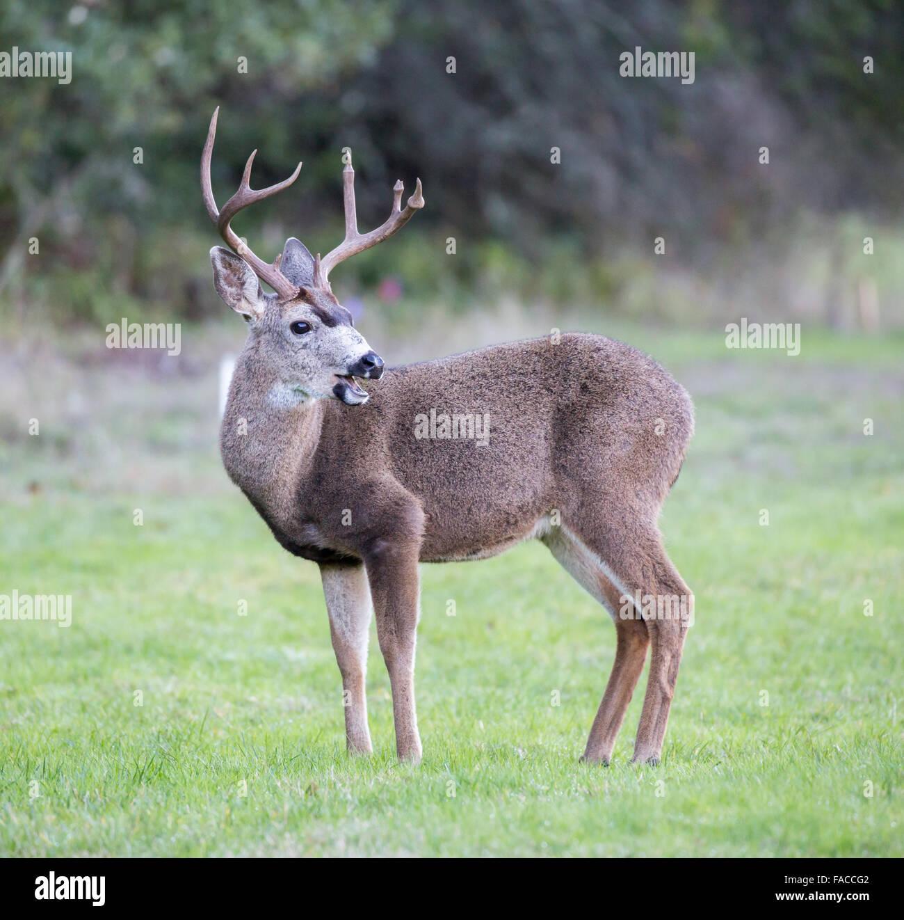 Black-tailed Deer, Odocoileus hemionus, Male - Stock Image