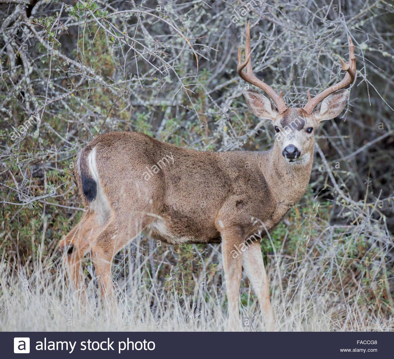 Blacktail Deer Antlers Stock Photos Blacktail Deer Antlers Stock-8660