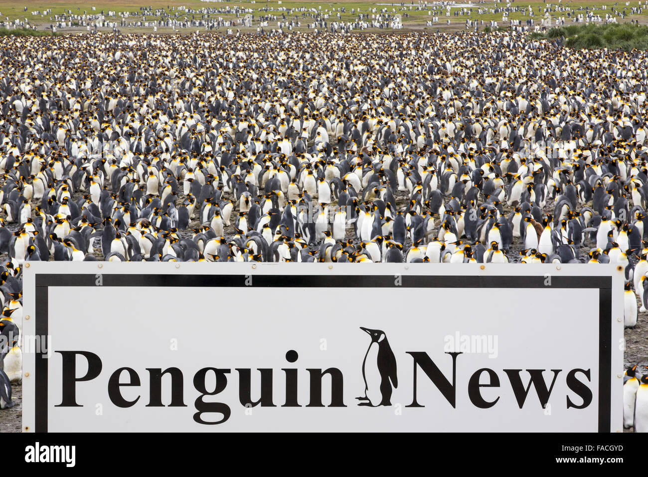 King Penguins in the world's second largest King Penguin colony on Salisbury Plain, South Georgia, Southern - Stock Image