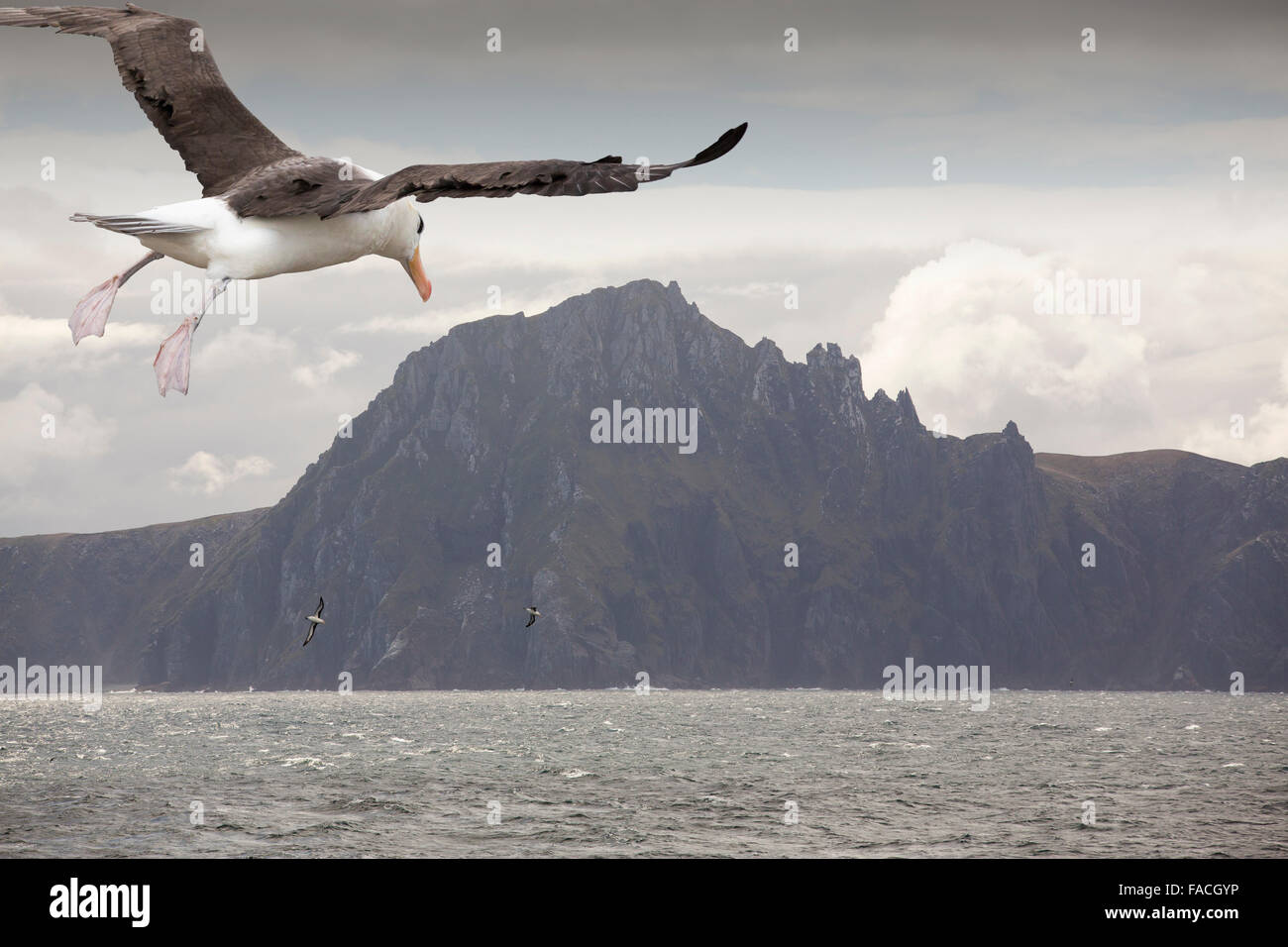 Cape Horn at the southern tip of South America, with Black Browed Albatross flying by. - Stock Image