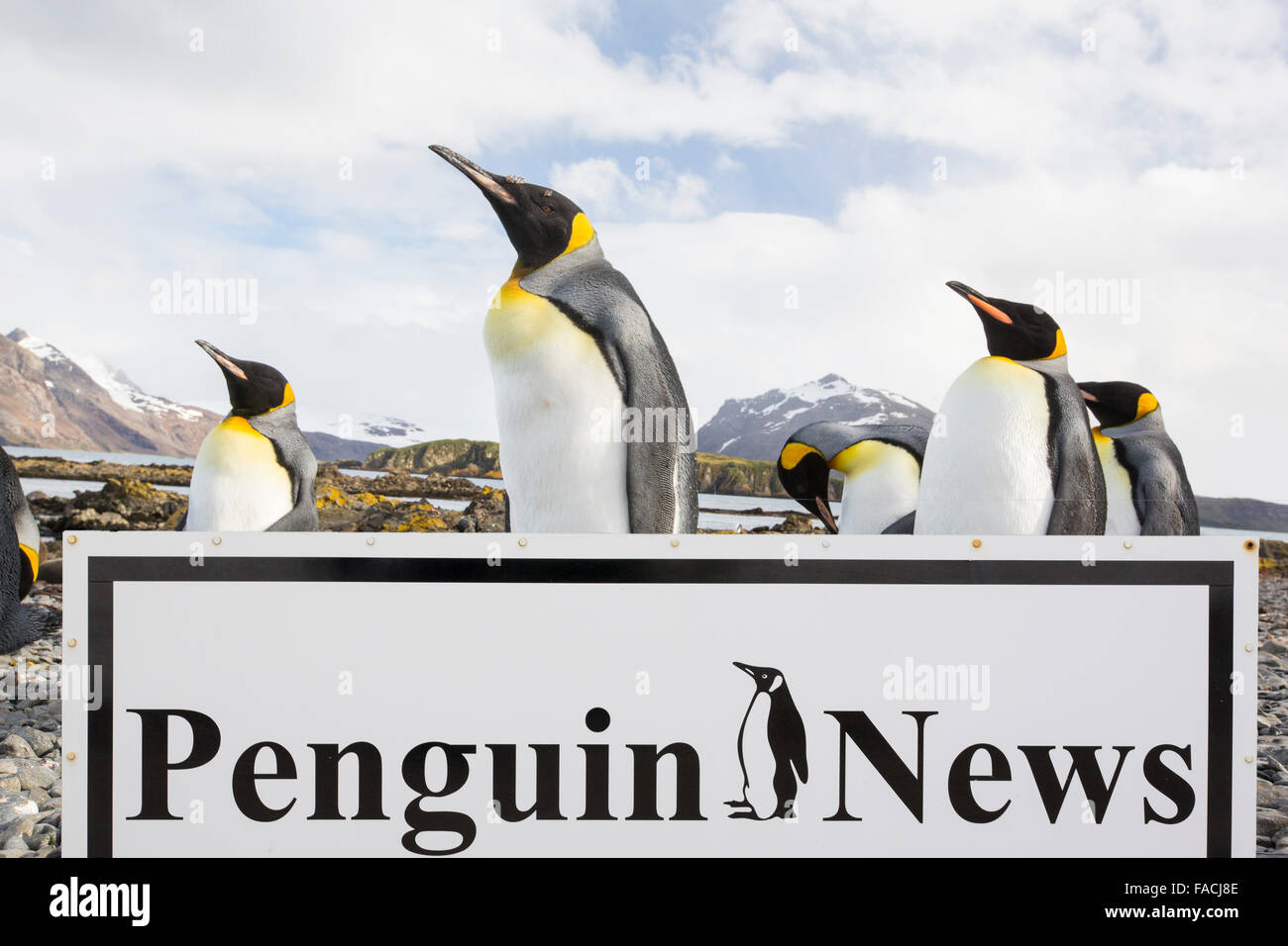 King Penguins on Prion Island, South Georgia, Southern Ocean with a penguin news hoarding composite. - Stock Image