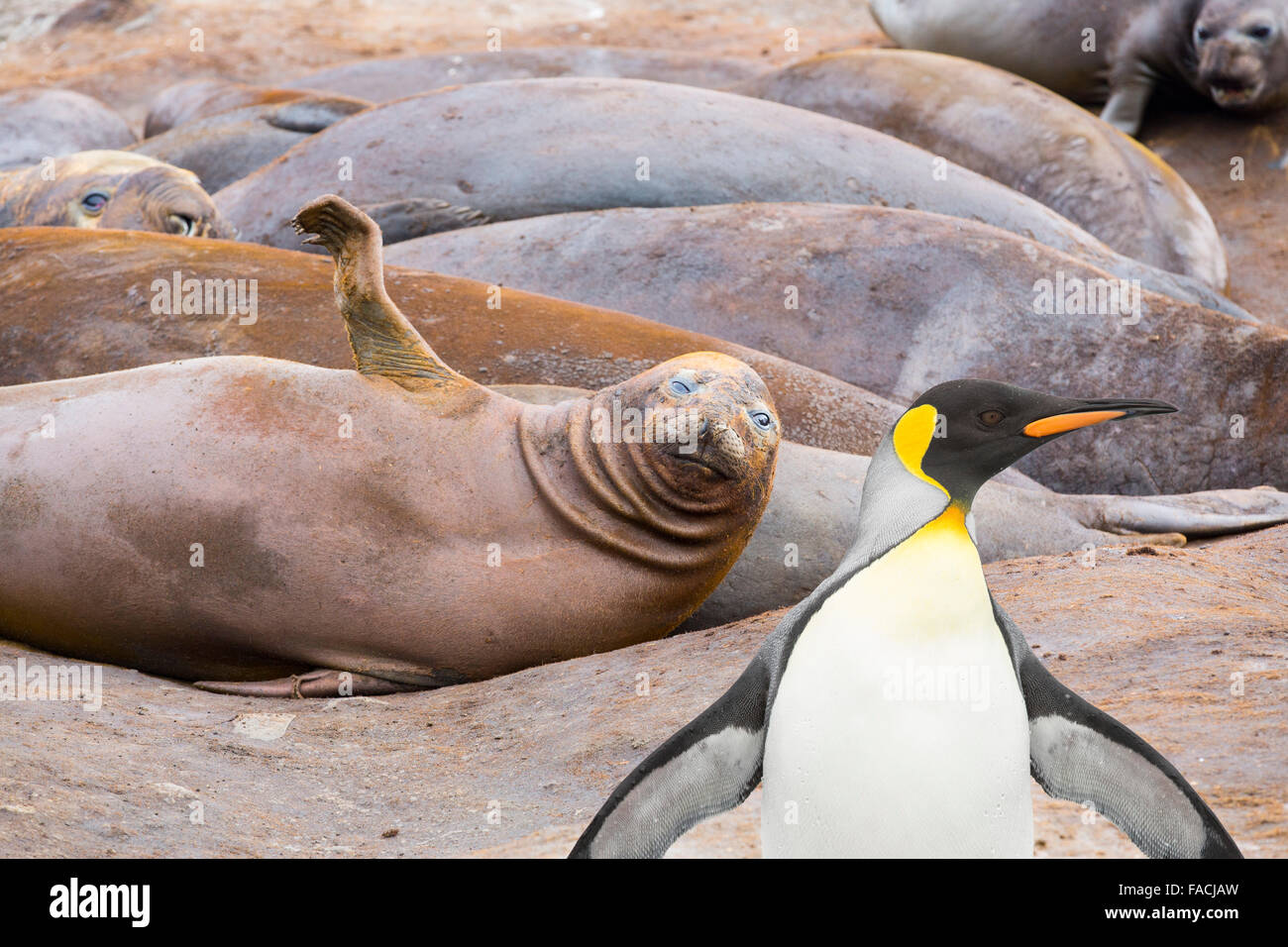 Southern Elephant Seals; Mirounga leonina, at Hannah Point, on livingston Island in the South Shetland Islands off Stock Photo