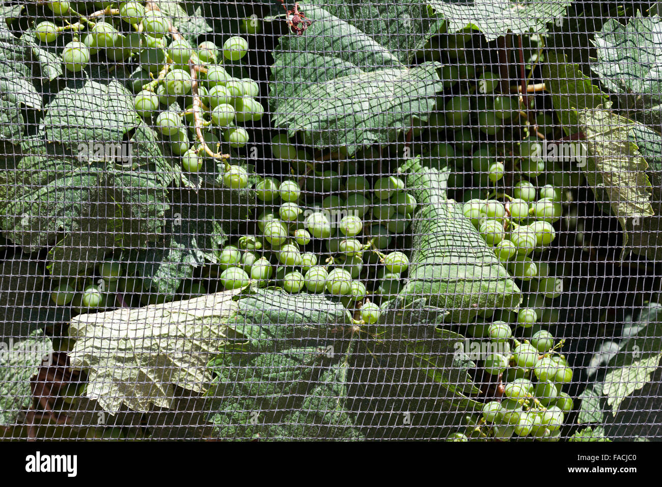 Vines covered with protective netting against hail, Mendoza