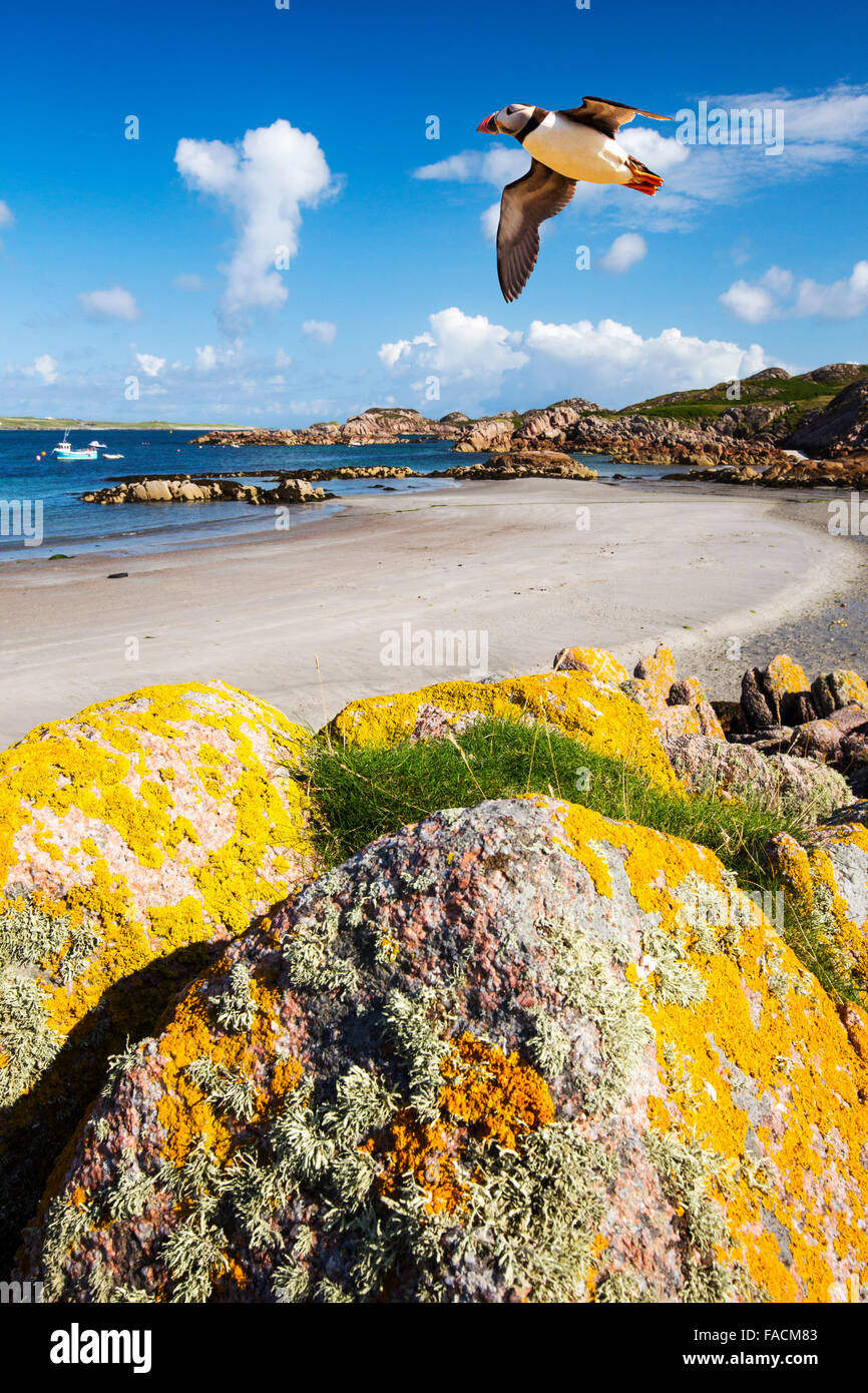 Lichen covered granite boulders at Fionnphort Isle of Mull, Scotland, UK, looking towards Iona with a Puffin flying - Stock Image