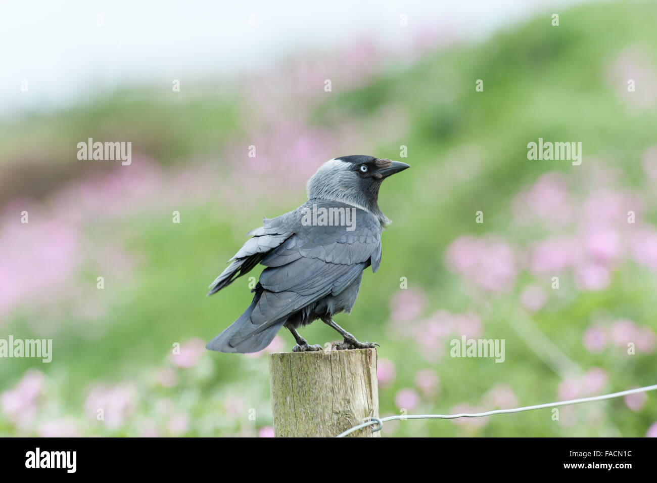 Jackdaw sitting on a fence post - Stock Image