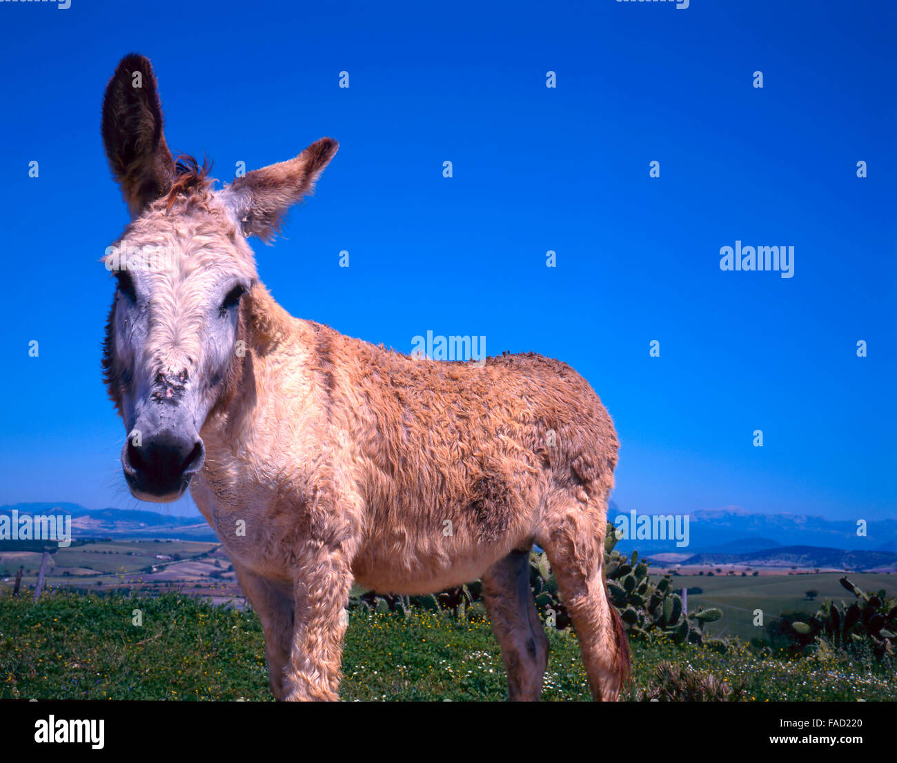 Close up of donkey against clear blue sky - Stock Image