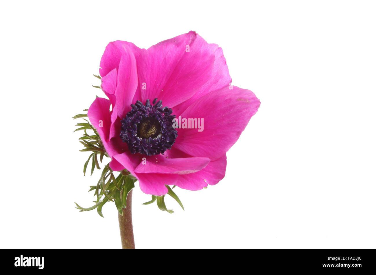 Magenta Anemone flower isolated against white - Stock Image
