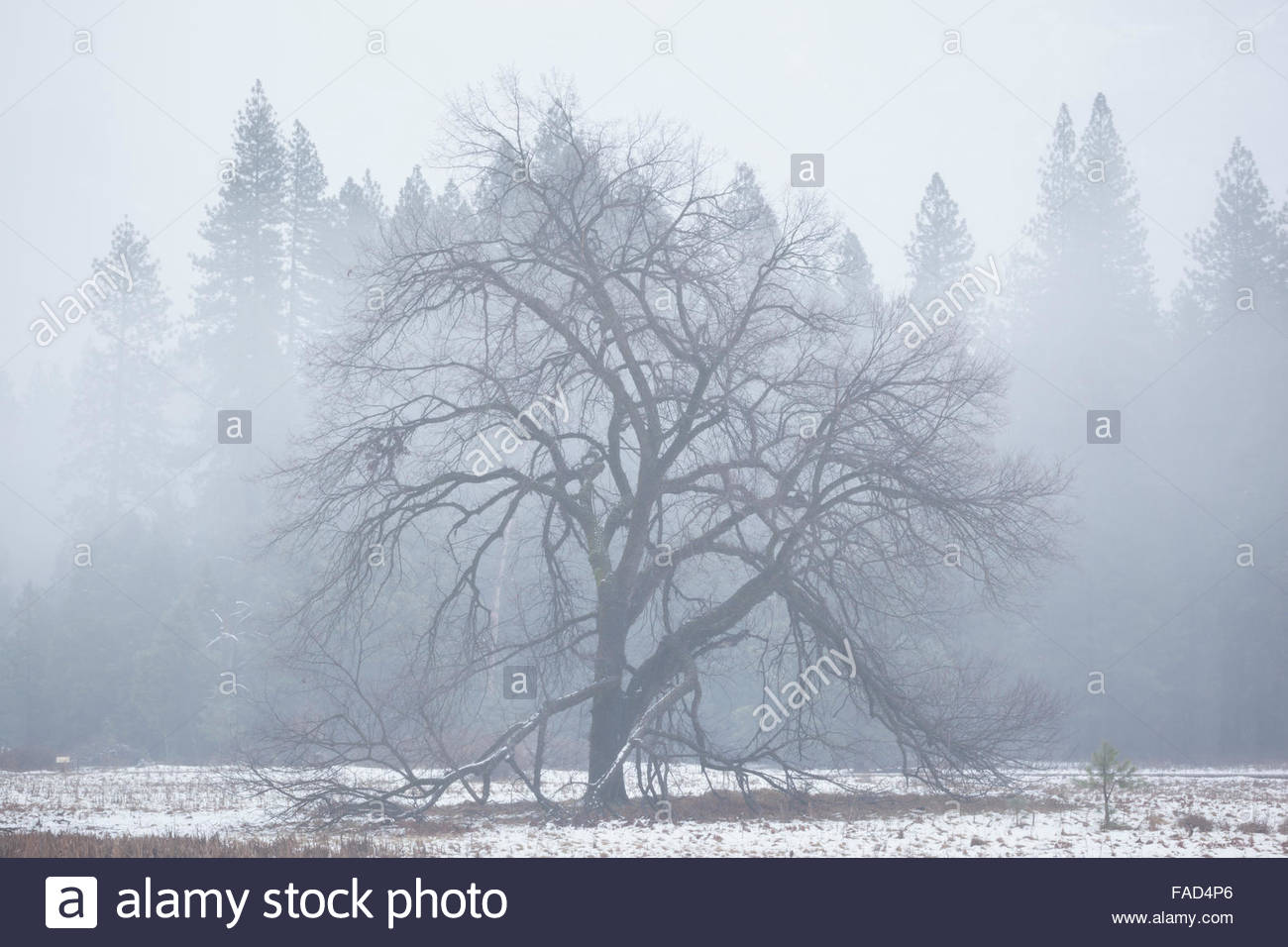 Elm Tree in Late Fall Snow Storm, Yosemite National Park, California - Stock Image