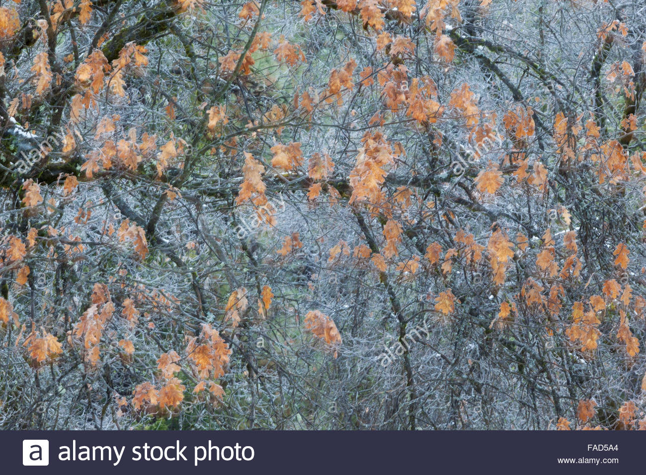 Black Oak Leaves in Fall After Snow Storm, Yosemite National Park, California - Stock Image