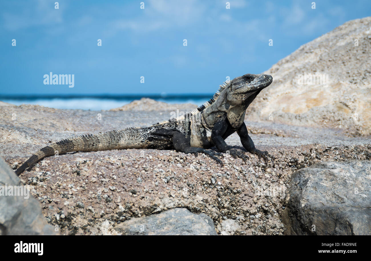 Iguana basking by the beach on a wavebreaker on a Mexican holiday resort in the sunshine - Stock Image