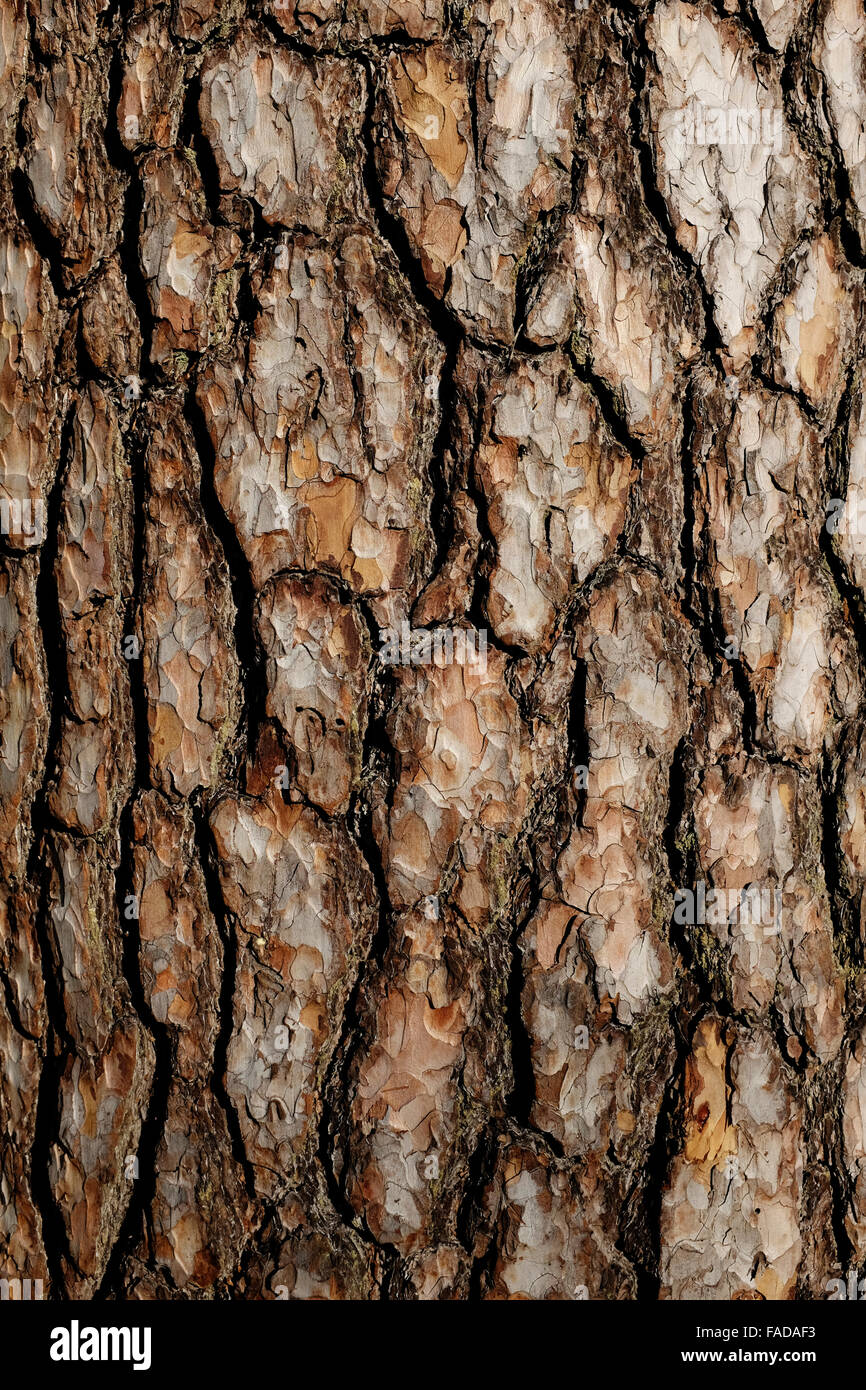 bark of pine tree close up, vertical - Stock Image