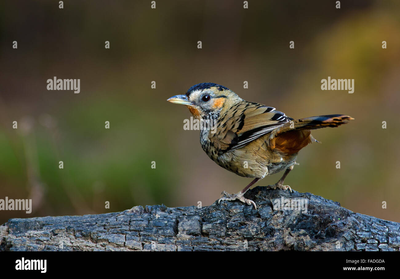 Colorful bird on dried stem - Stock Image