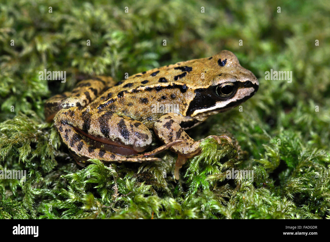 Juvenile common frog on moss in woodland. Dorset - Stock Image