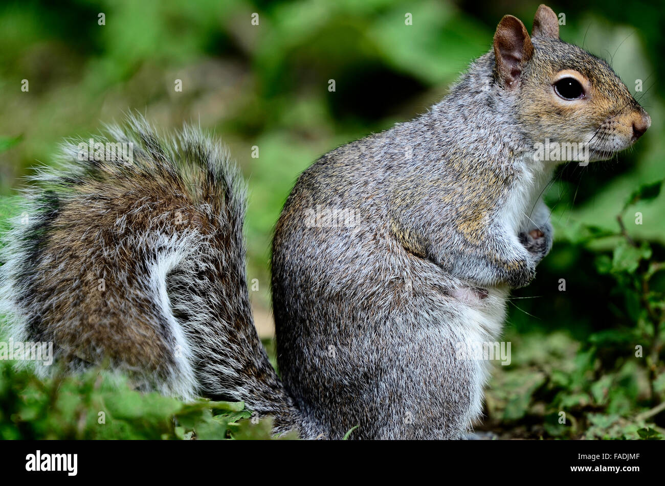 Grey squirrel sitting down. UK - Stock Image