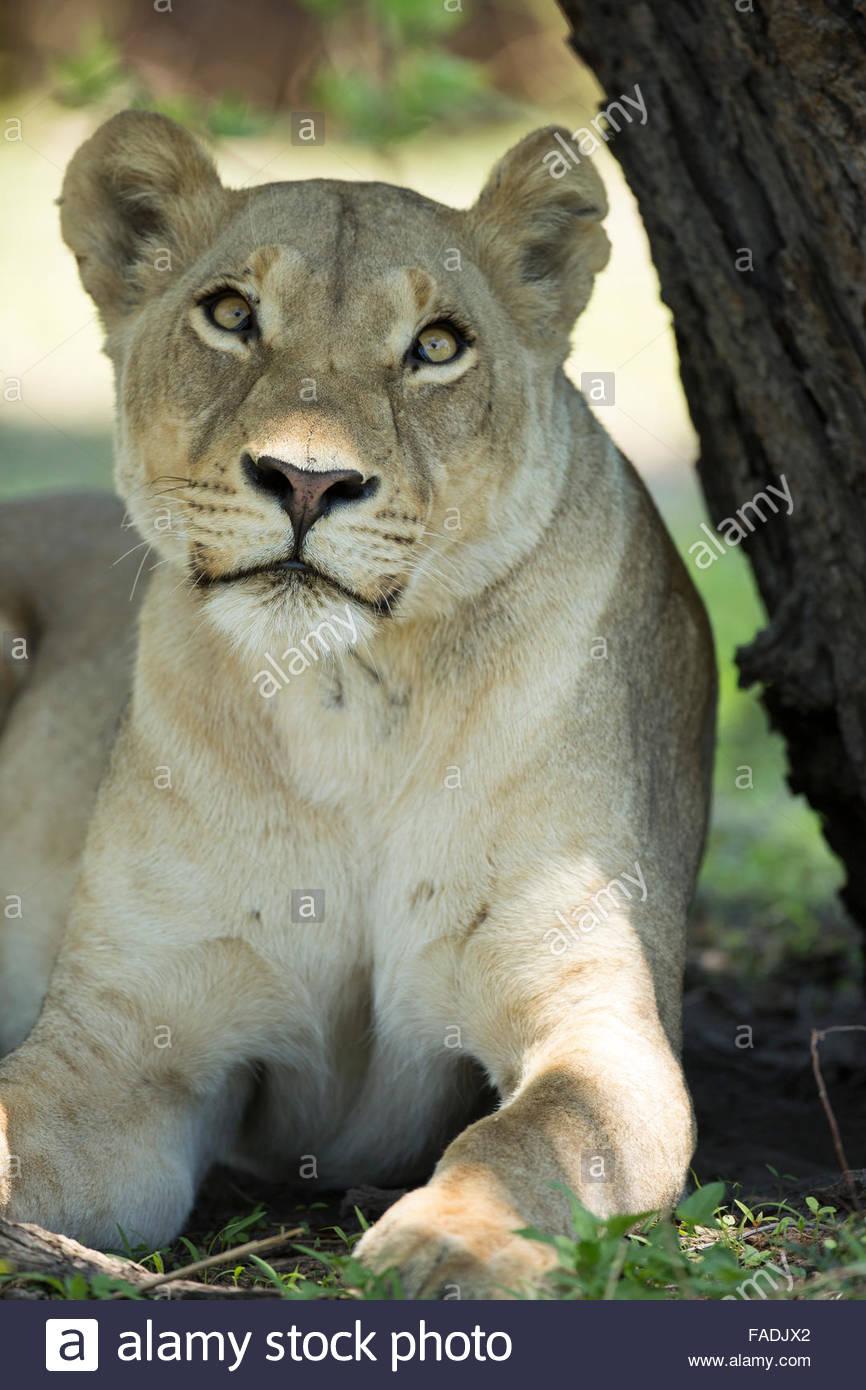 Lion, Linyanti area, Botswana - Stock Image