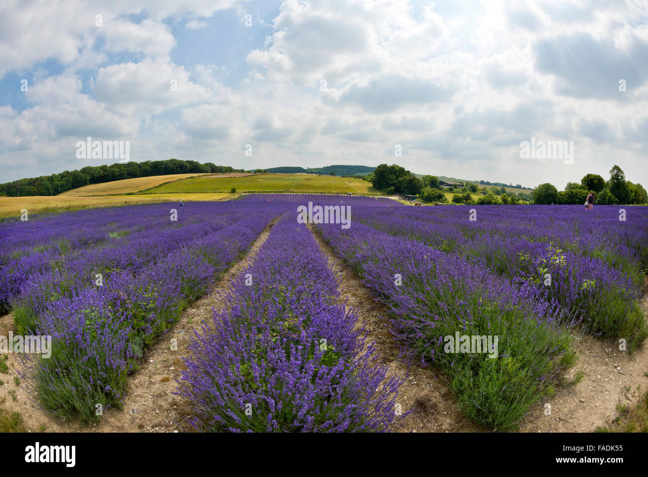 Mailette Lavender ripe for havest in rows at Lordington Lavender is West Sussex near Chichester - Stock Image
