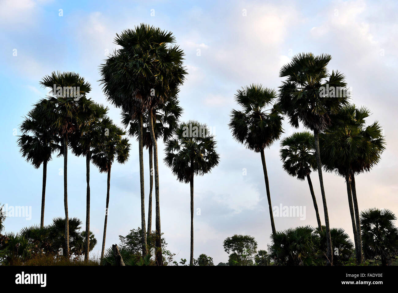 palam tree in palakkad,kerala,india,very big like coconut tree. - Stock Image