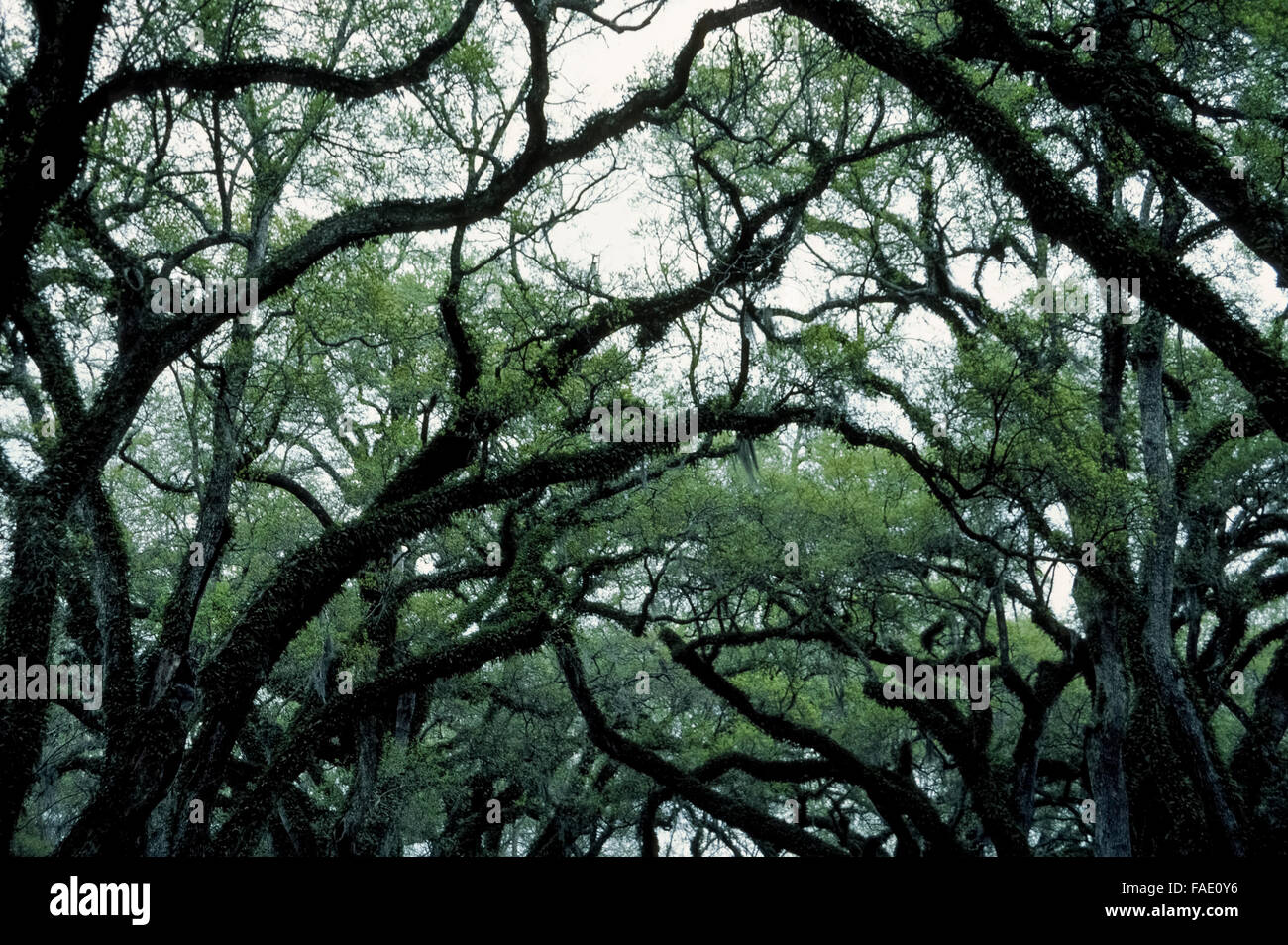 The twisted silhouettes of limbs and branches of moss-covered live oak trees in Louisiana evoke an eerie scene in - Stock Image