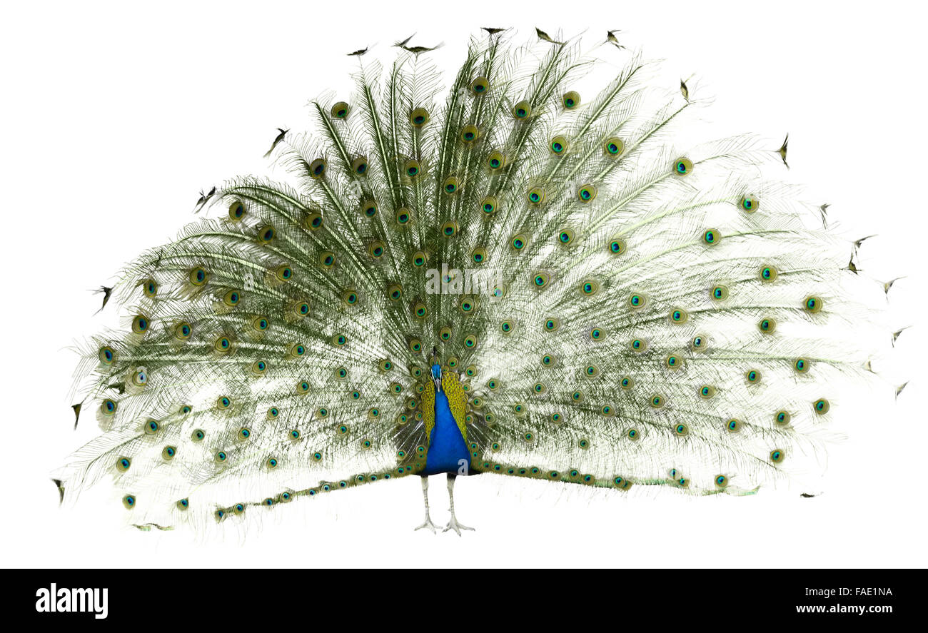 Male Indian Peafowl over white  background - Stock Image