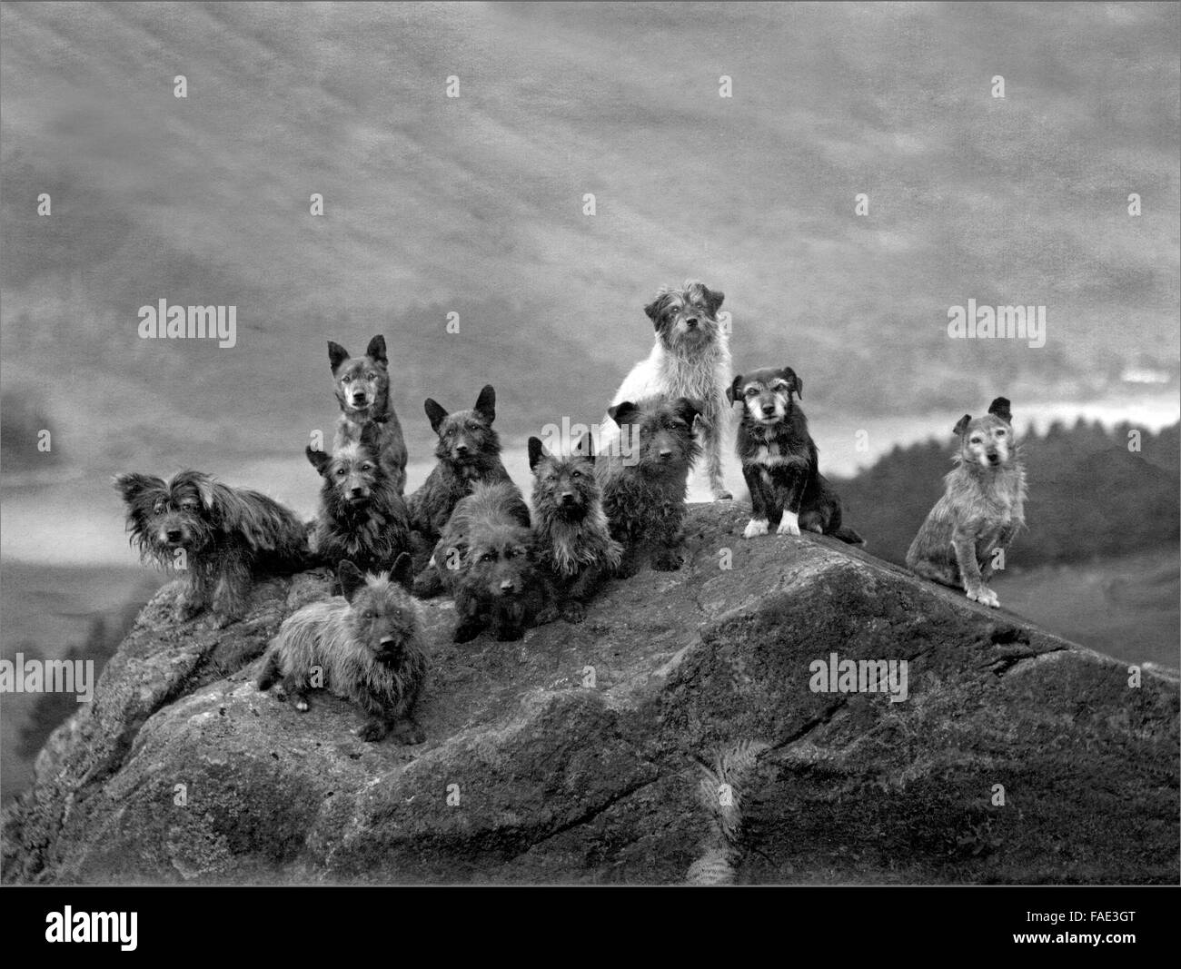 AScottish X1 dogs terriers Highlands - Stock Image