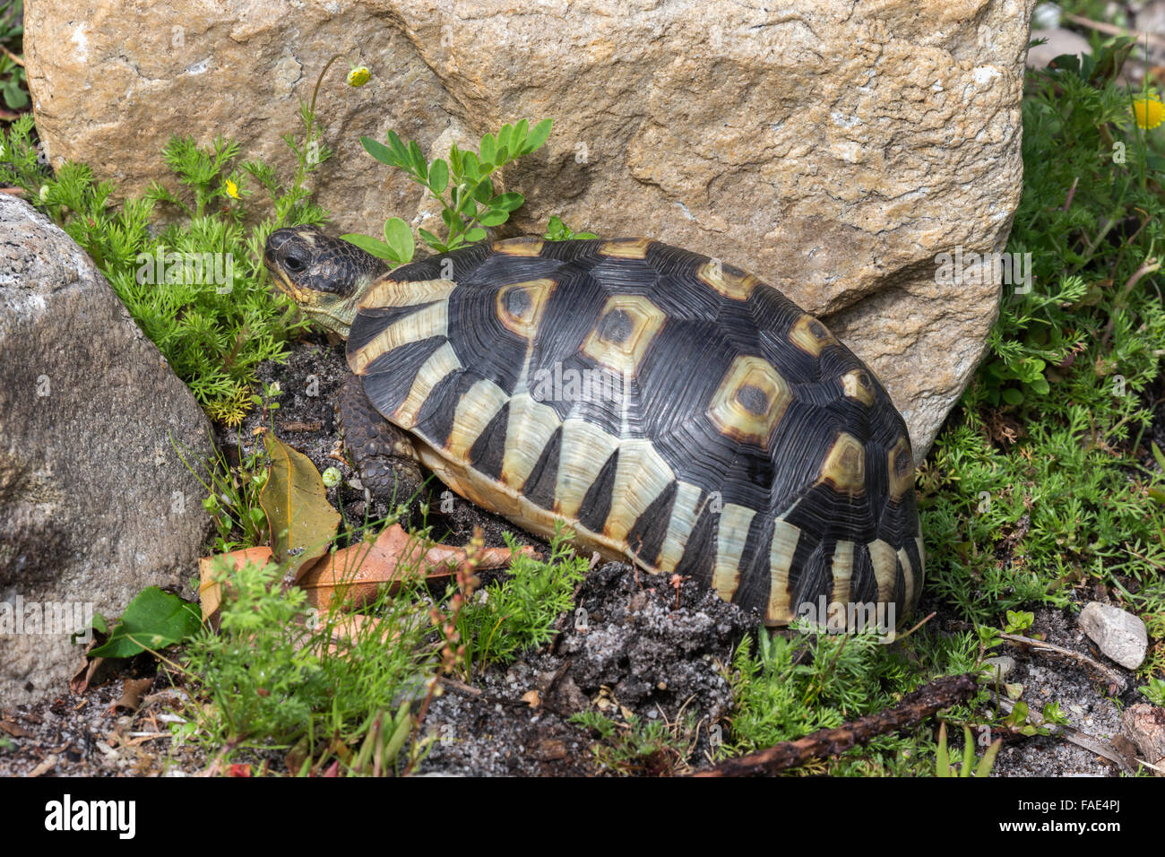Leopard (mountain) tortoise (Stigmochelys pardalis), Table Mountain national park, Western Cape, South Africa - Stock Image