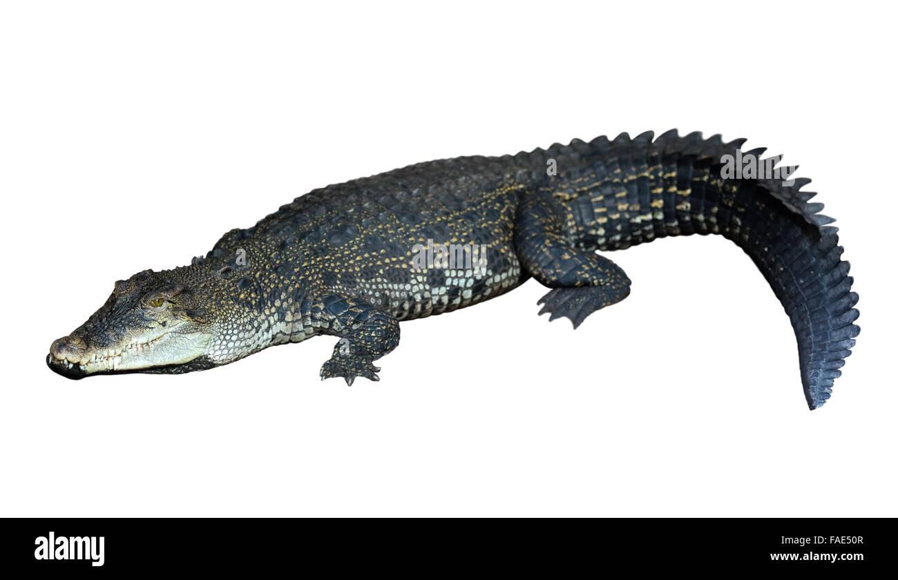 Saltwater crocodile (Crocodylus porosus) . Isolated over white background - Stock Image