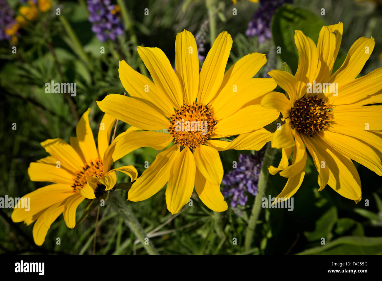 Bright Yellow Sage Flowers In Stock Photos Bright Yellow Sage