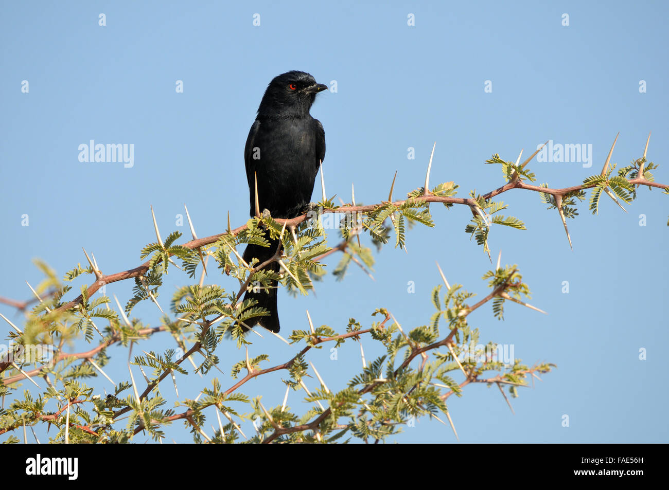 A Southern Black Flycatcher in the Kgalagadi Transfrontier Park, South Africa - Stock Image