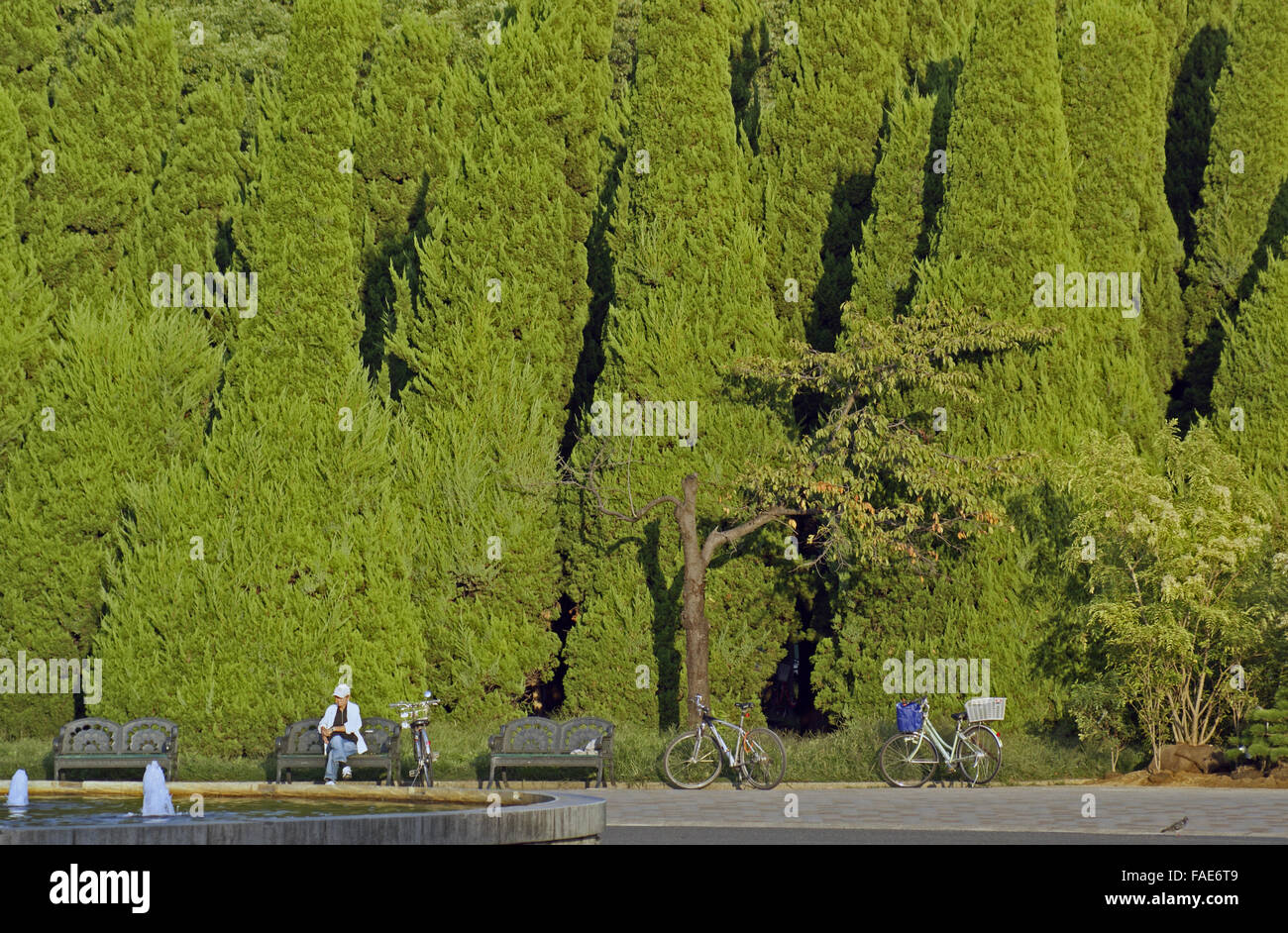 Giant conifer hedge - Stock Image
