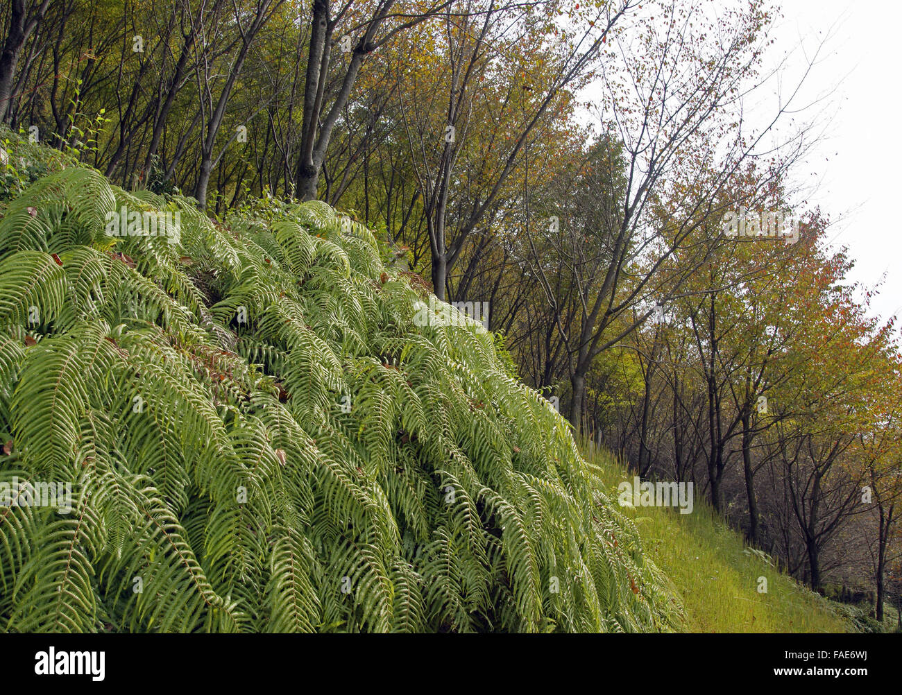 Ferns and trees on a steep bank hillside - Stock Image