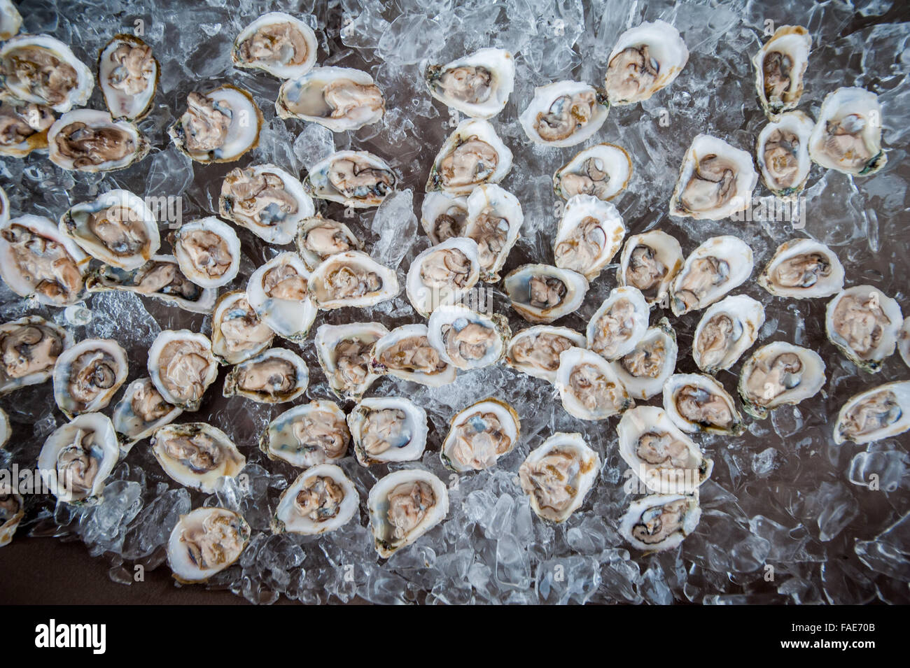Shucked oysters on ice. - Stock Image