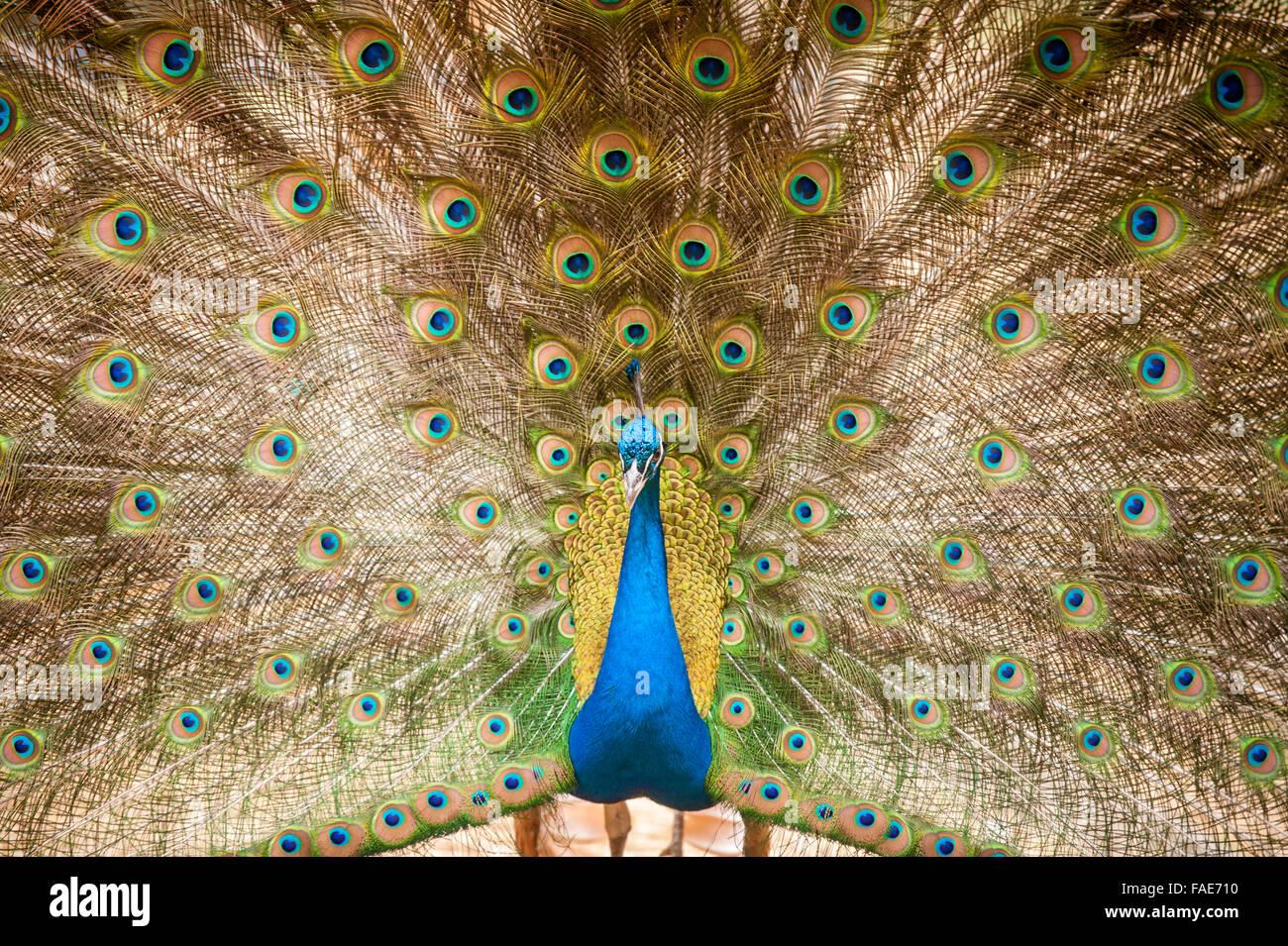 Bright peacock. - Stock Image