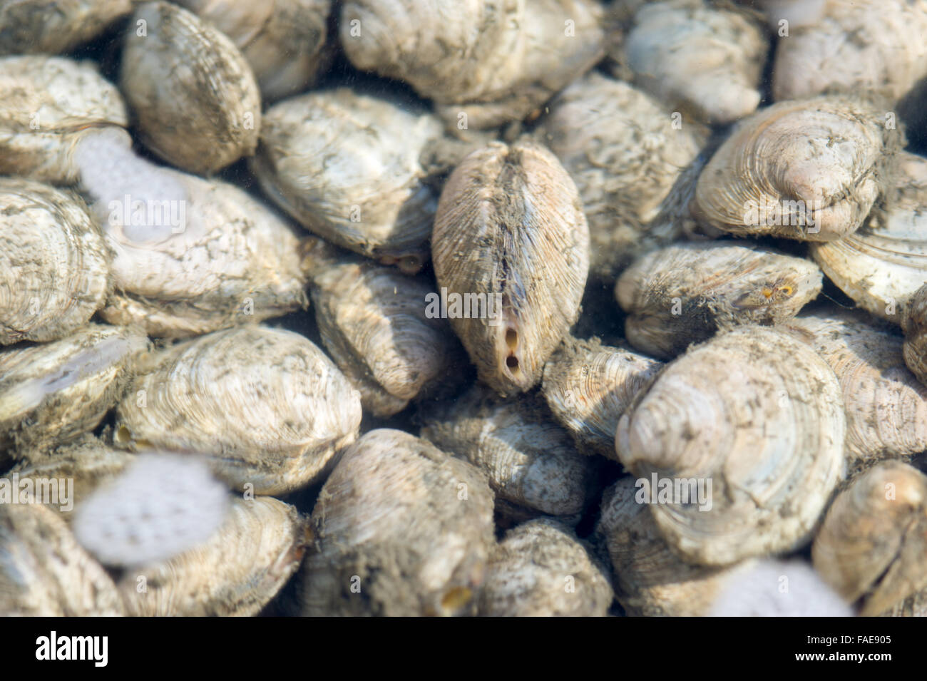 Aquaculture Clam Nursery in Maryland. - Stock Image