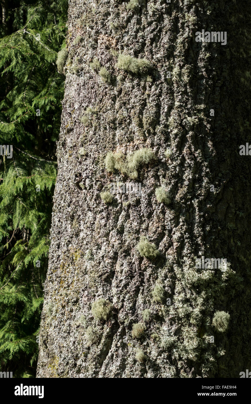 Hawick, Scottish Borders - Wilton Park. Clean air, lichen on tree trunk. - Stock Image