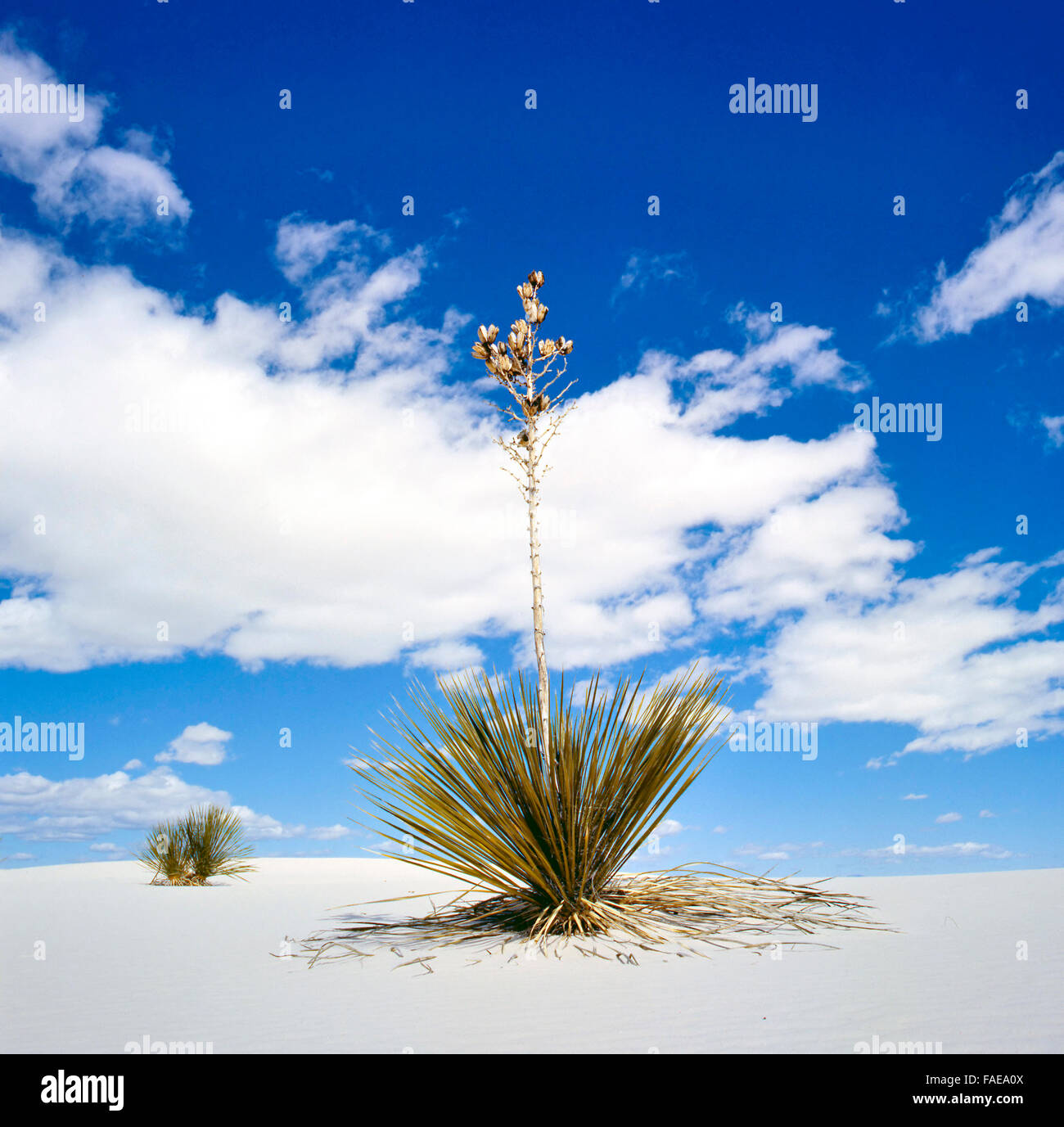 White Sands National Monument, New Mexico, USA with Yucca - Stock Image
