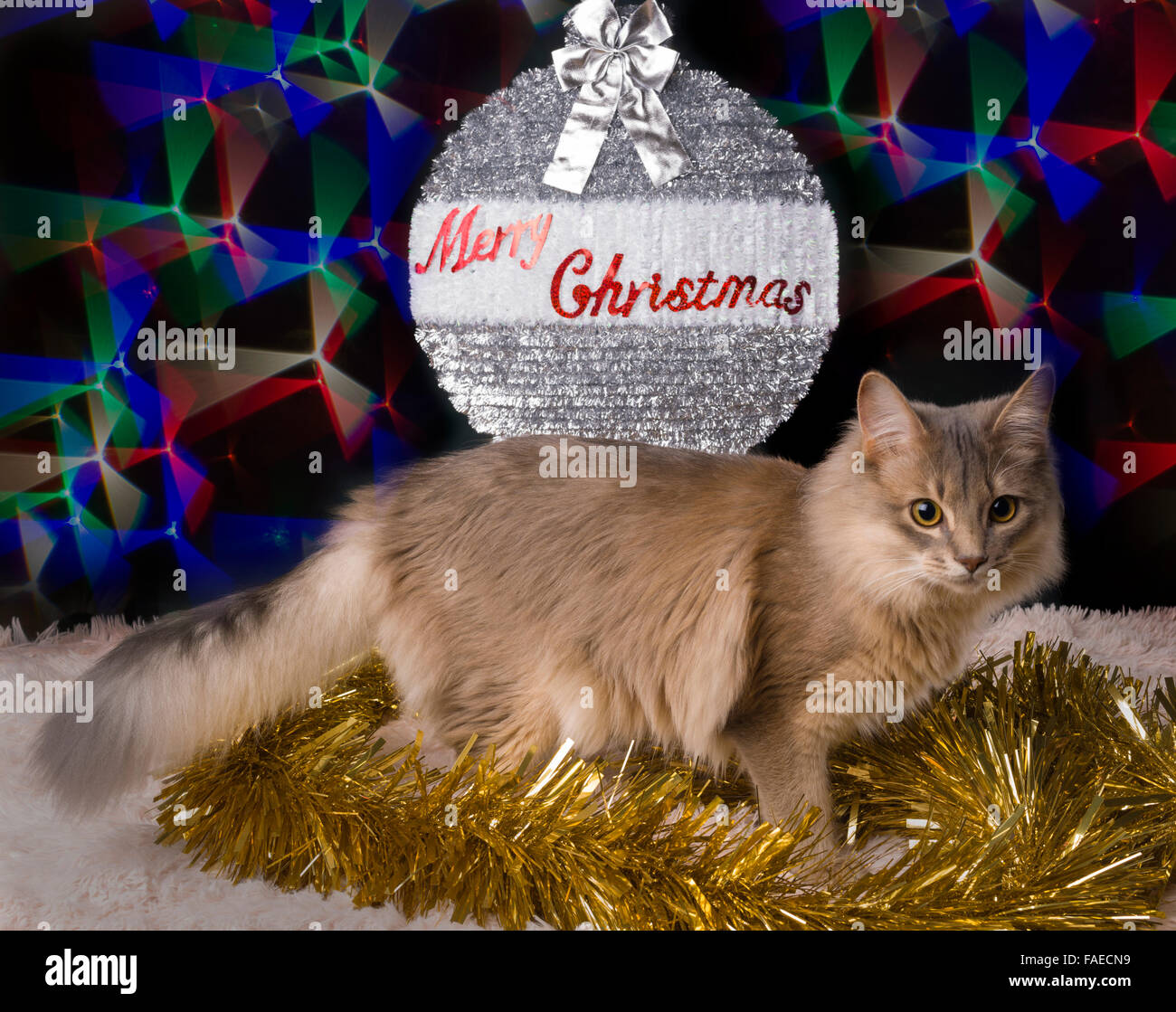 Somali blue grey kitten christmas card greetings pose 7 months somali blue grey kitten christmas card greetings pose 7 months old male m4hsunfo