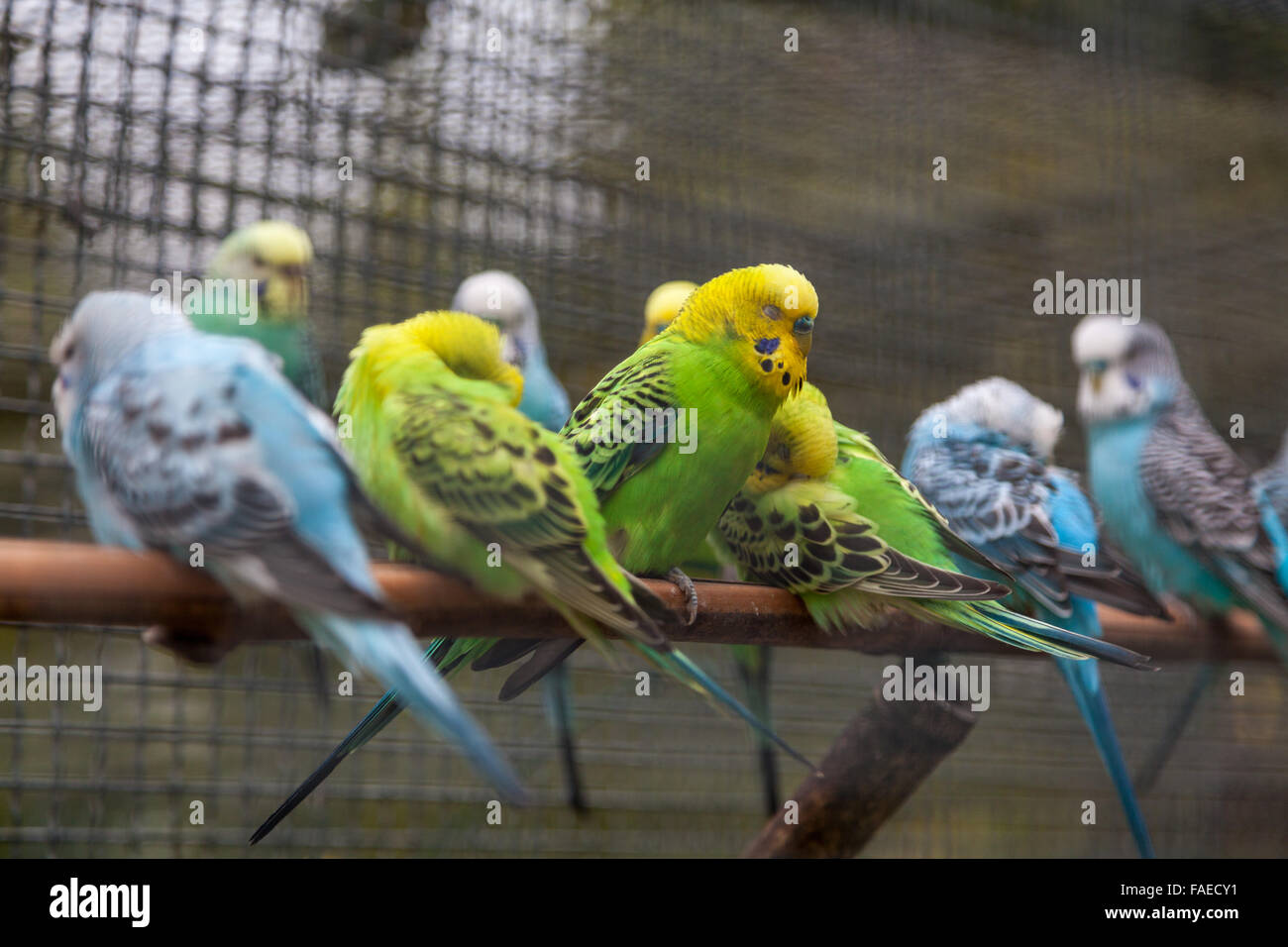 Budgie birds all in a row tucking in for the night - Stock Image