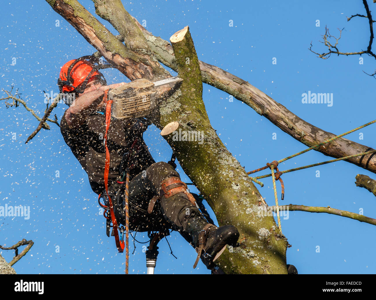 Chainsaw in use by a tree surgeon high up in a tree being felled.  Sawdust and chippings are flying. A tree branch - Stock Image