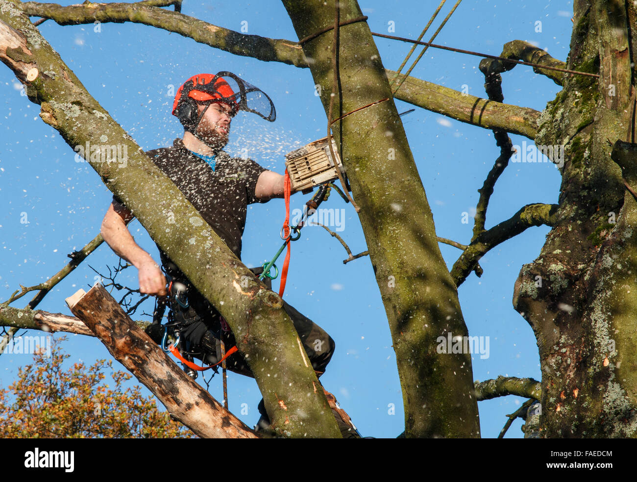 Tree surgeon in the top of a tree cutting branches with a chainsaw.  Chippings and motion blur - Stock Image