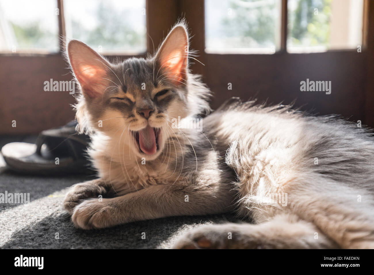 Somali blue (grey) kitten. Typical large ears. - Stock Image