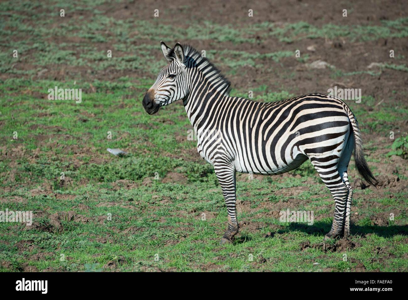 Zambia, South Luangwa National Park, Mfuwe. Crawshay's zebra (Wild: Equus quagga crawshayi) - Stock Image