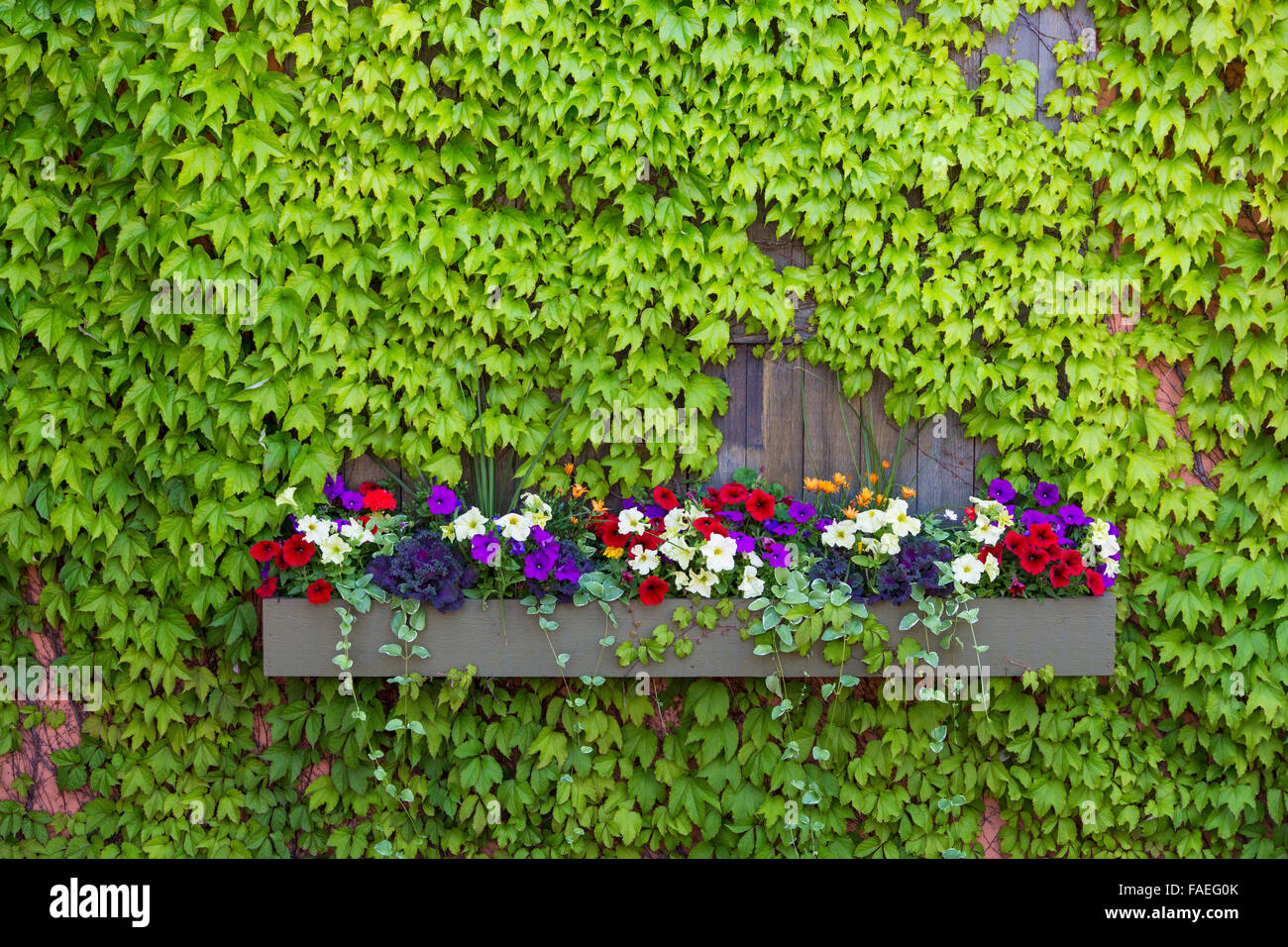 Window box with vines in Duluth Minnesota on the north western shore of Lake Superior - Stock Image