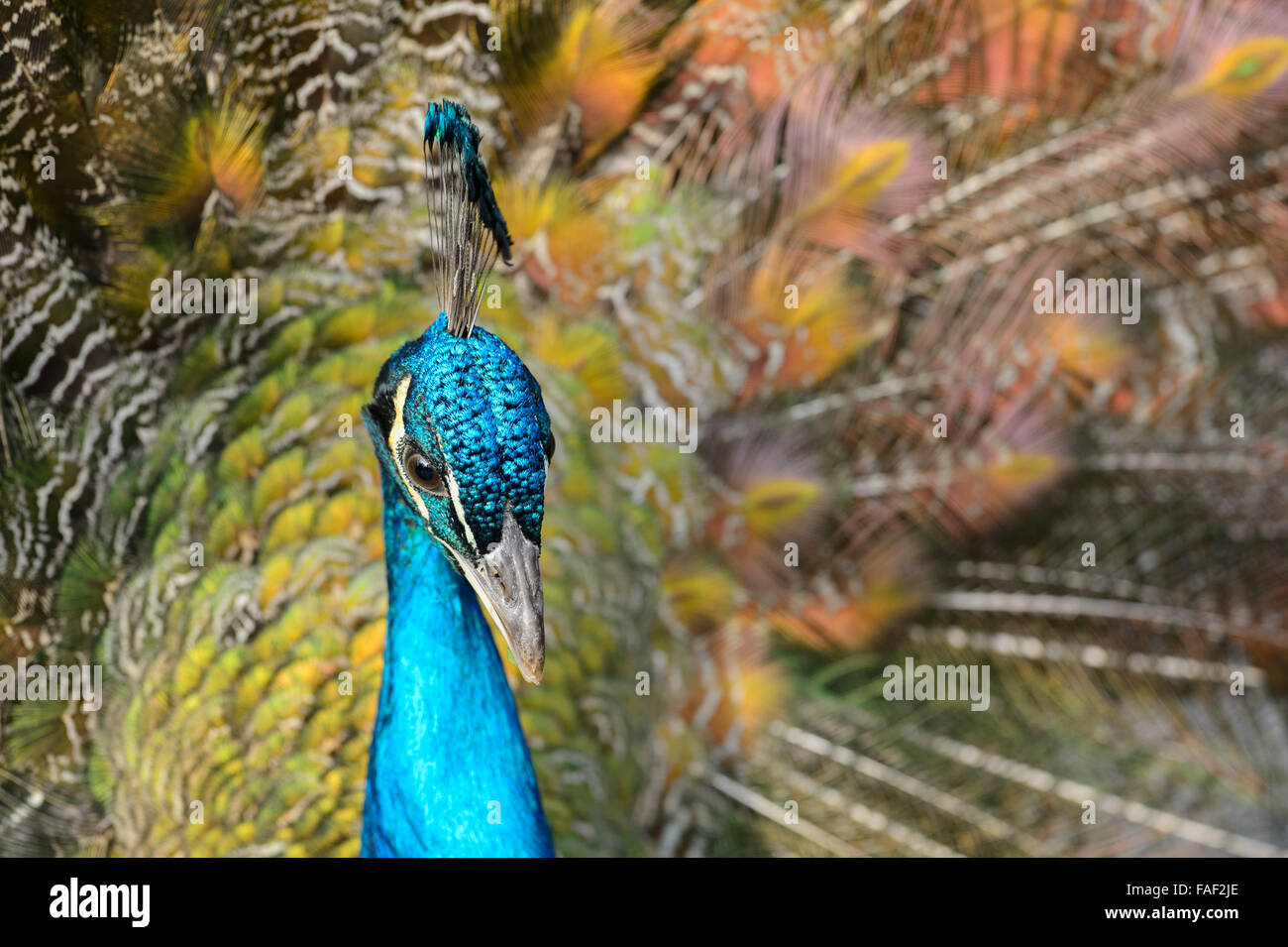 Portrait of a displaying Peacock - Stock Image