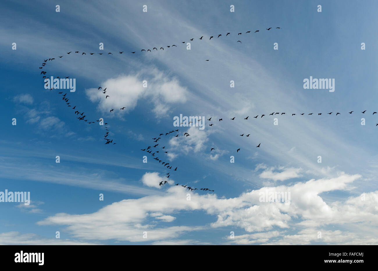 Two skein of geese flying in V formation migrating towards winter living areas - Stock Image