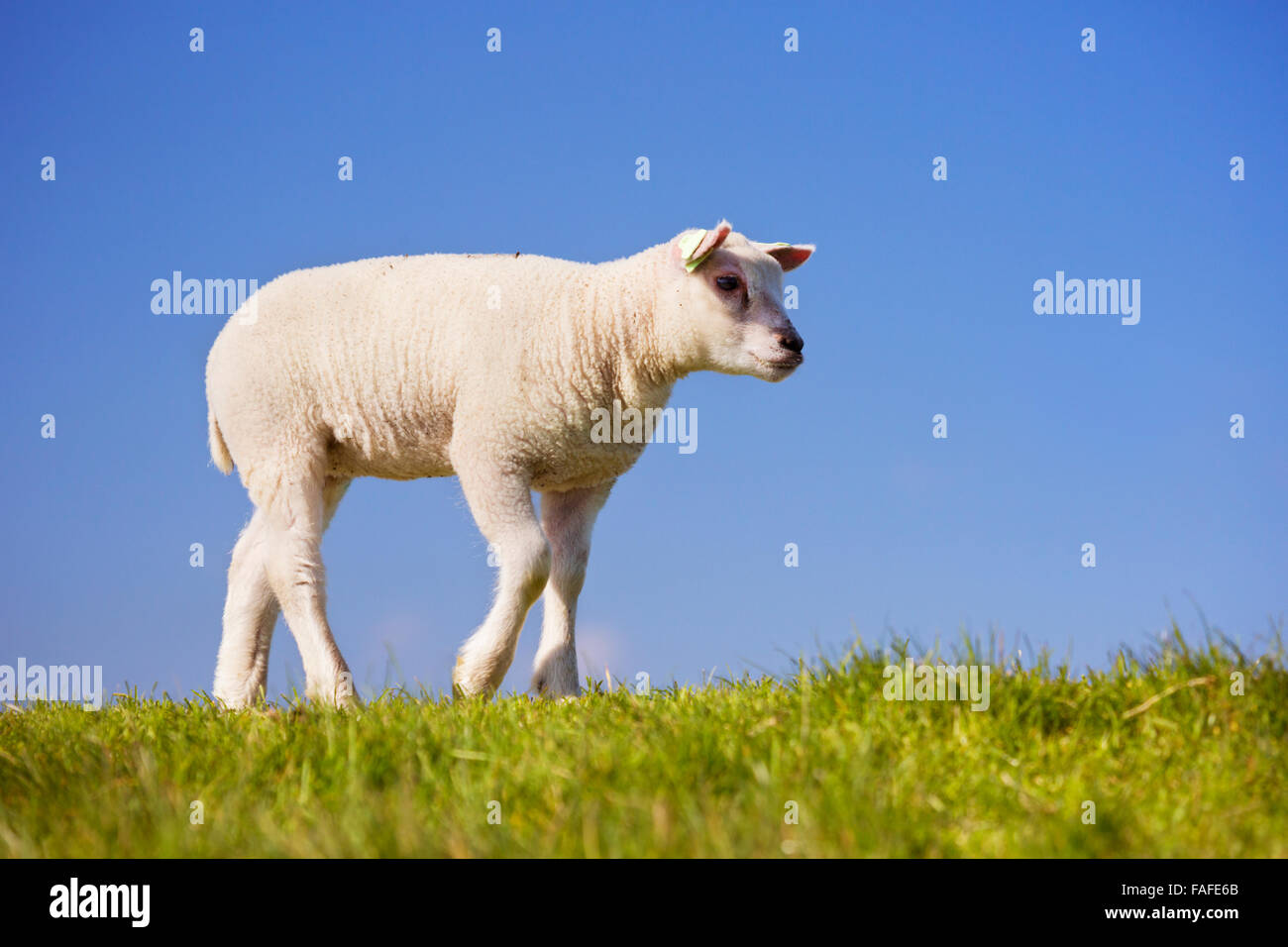 A cute little Texel lamb in the grass on the island of Texel in The Netherlands on a sunny day. Stock Photo