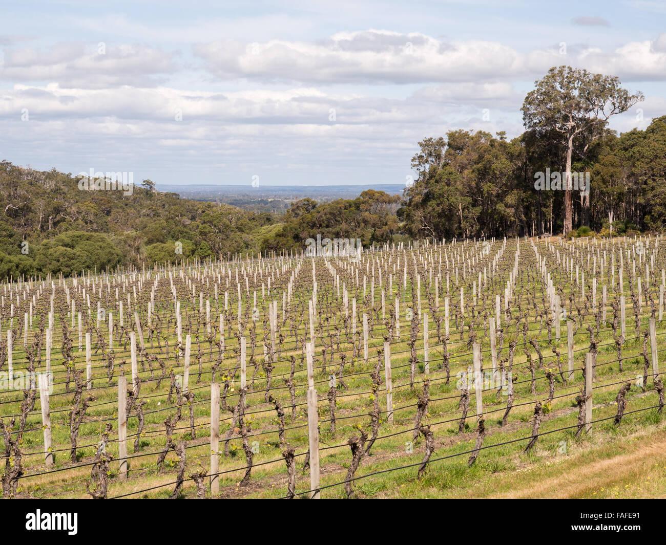 Vineyard, Margaret River wine region, Western Australia Stock Photo