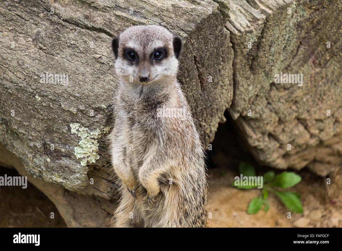 Alert Meercat Standing - Stock Image